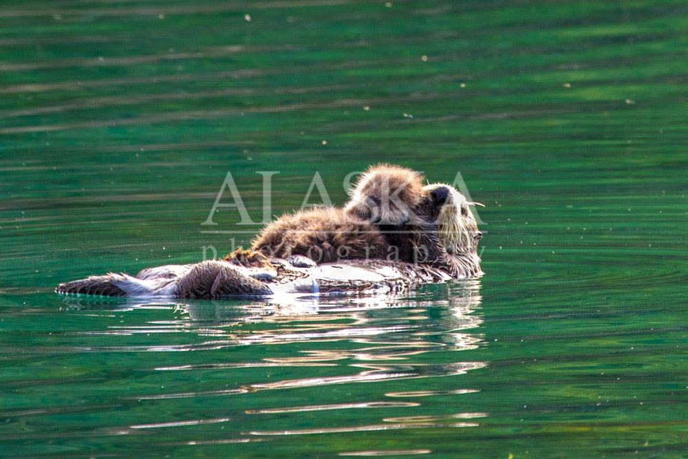 Mother sea otter and her pup.