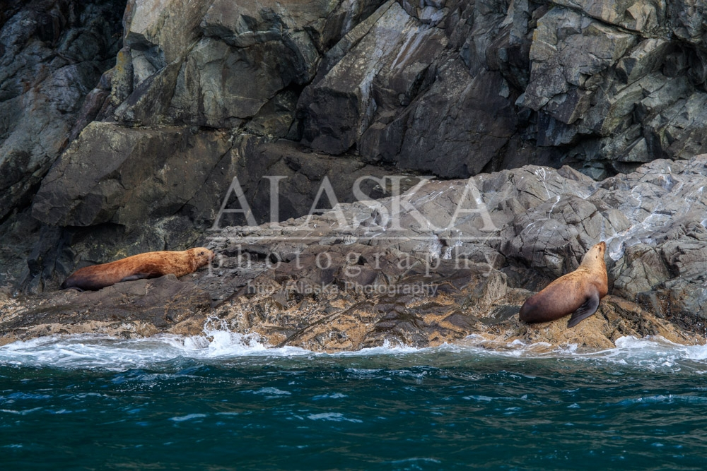 Sea lions at Bull Head.