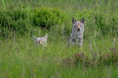 Coyotes in the Grass