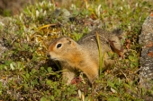 Arctic Ground Squirrel Crawl