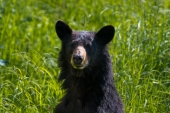 Attentive Black Bear in Tall Grass