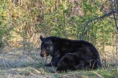 Big Black Bears Willow Buffet