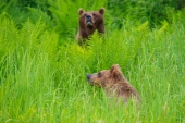 Brown Bears in Green Foliage
