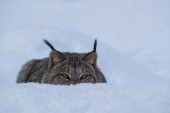Crouching Lynx in the Snow