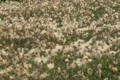 Eriophorum Cottongrass
