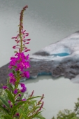Fireweed and Iceberg
