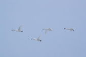 Four Swans Flying
