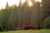 Liard River Bison at Rest