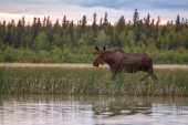 Moose Walking