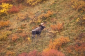 Moose on a Hill