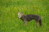 One Wet Coyote