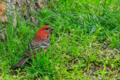 Pine Grosbeak in the Grass