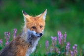Red Fox Among Vetch