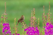 Savannah Sparrow Singing in the Rain