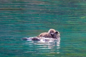 Sea Otter and Her Pup