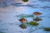 Short-billed Dowitchers Feeding