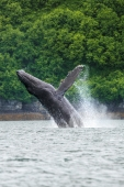 Splashy Humpback Whale
