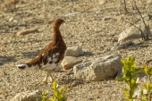 Summer Willow Ptarmigan