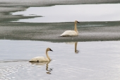 Tundra Swans on Summit Lake