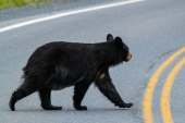 Why Did the Bear Cross the Road