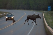 Why Did the Moose Cross the Road