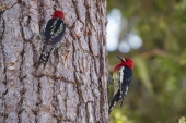Woodpecker Picnic