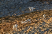 Young Dall Sheep