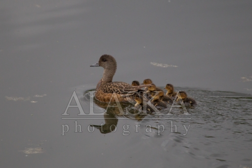 American Wigeon and Ducklings