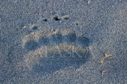 Bear Print in the Sand