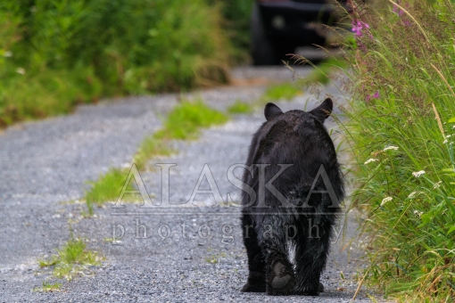 Black Bear Comes to Visit