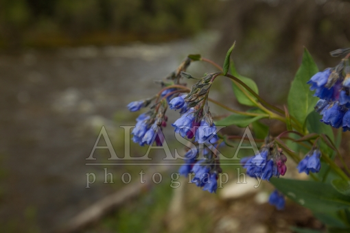 Bluebells by the Creek