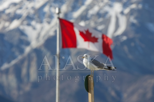Canadian Mew Gull