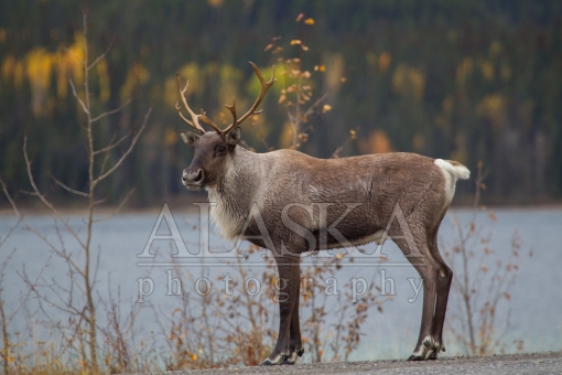 Caribou of the Lake