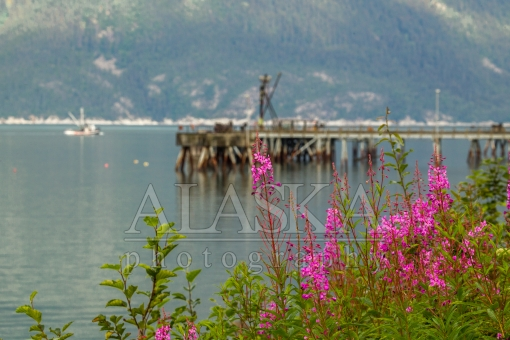 Coastal Fireweed