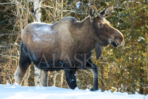 Cow Moose Walking