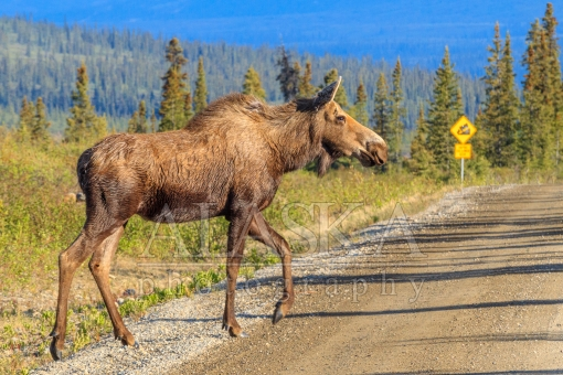 Denali Highway Moose Crossing
