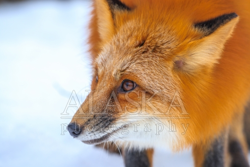 Face of a Fox