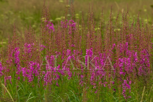 Fireweed Close