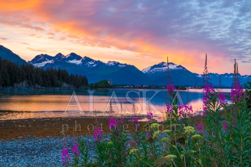Fireweed on the Coast