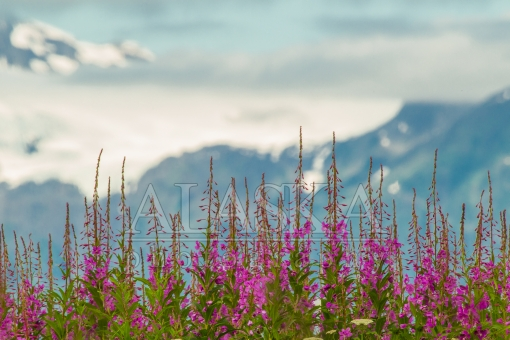 Fore Fireweed