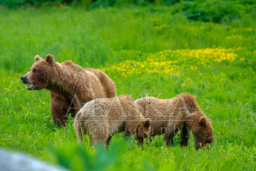 Grazing Brown Bears