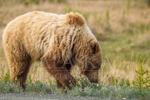 Grizzly Breakfast