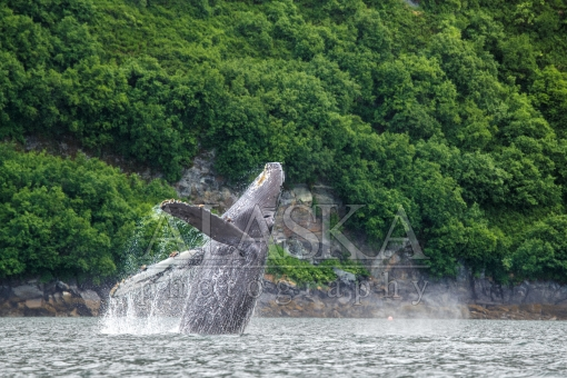 Humpback Breach Blow