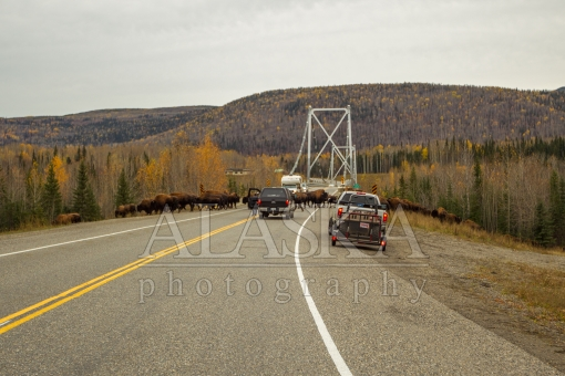 Liard Bison Crossing