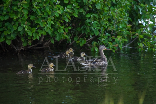 Mallard Hen and Ducklings at Lake Hood