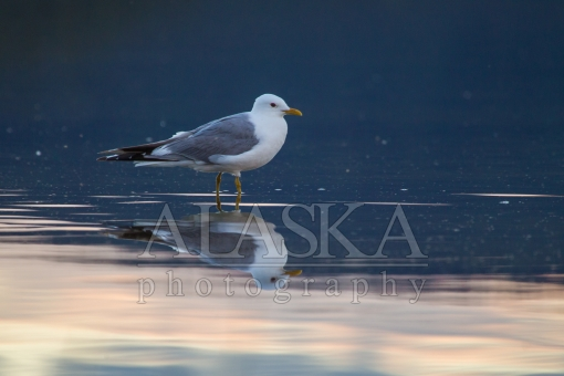 Mew Gull Reflection