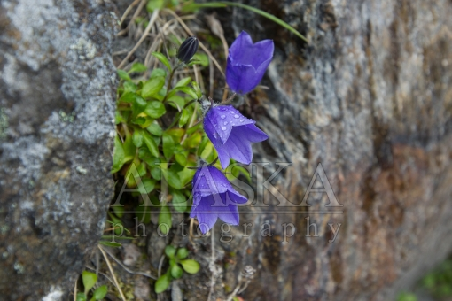 Misted Harebell