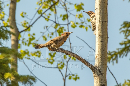 Pair of Flickers