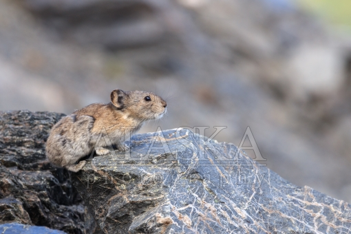 Pika Perch