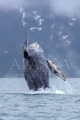 Port Valdez Humpback Breach